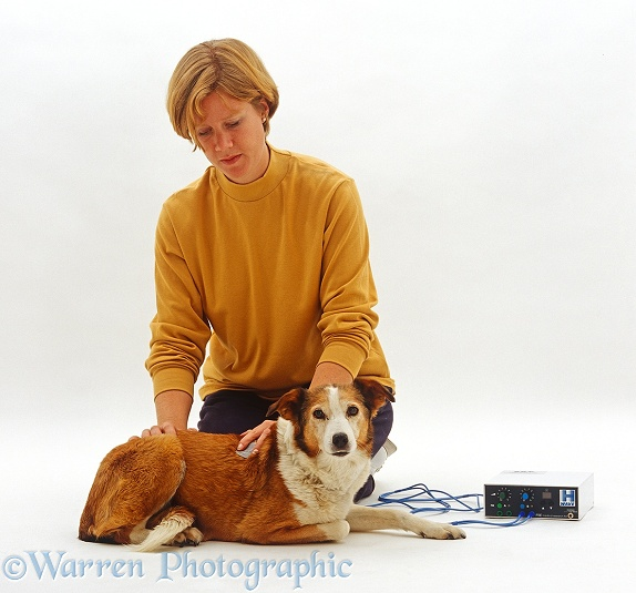 Physiotherapist using H-Wave machine on injured shoulder of elderly sable Border Collie bitch, Fan, white background