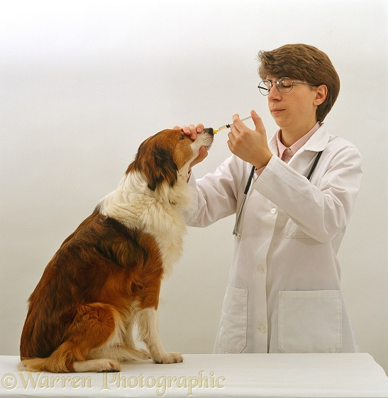 Vet Administering nasal vaccine for Kennel Cough to Border Collie bitch, Lark, white background
