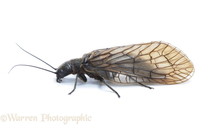Alder Fly (Sialis lutaria), white background
