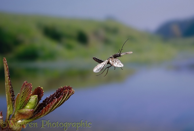 Alder Fly (Sialis lutaria) taking off from an alder shoot
