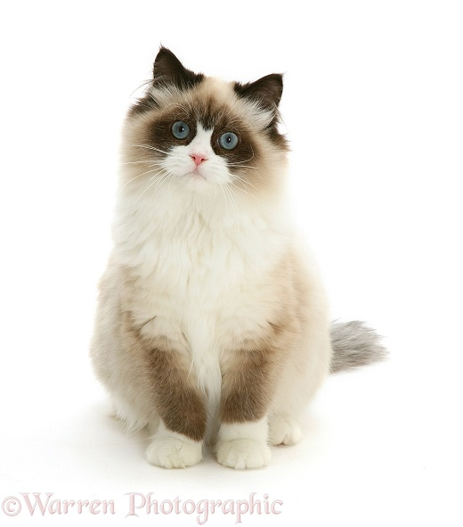 Birman x ragdoll cat, Harmony, 1 year old, white background