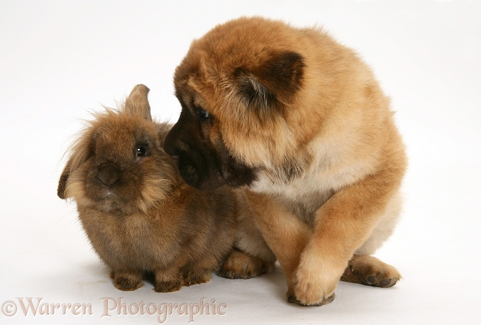 Bear coat Shar Pei pup, Ruffles, 11 weeks old, with a Dwarf Lionhead rabbit, white background