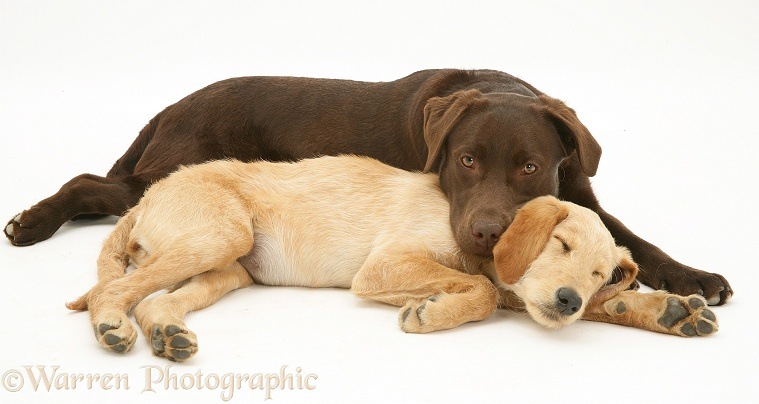 Yellow Labradoodle pup, Maddy, with Chocolate Labrador Retriever, Mocha, white background