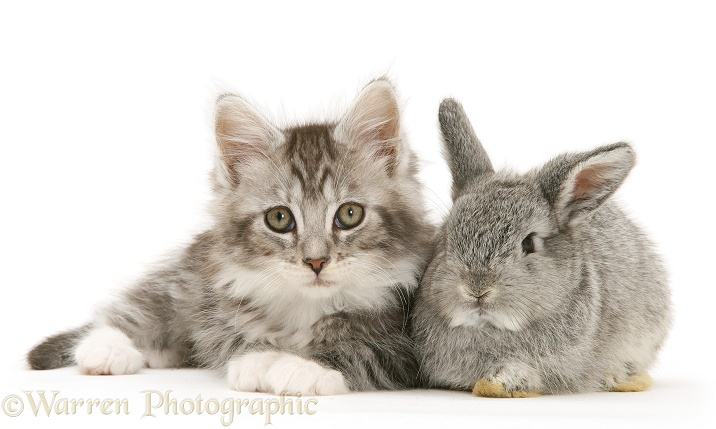 Baby silver Lop rabbit with silver tabby Maine Coon kitten, white background