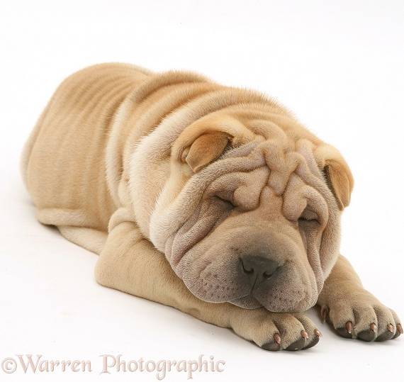 Shar-pei pup, Beanie, asleep, white background