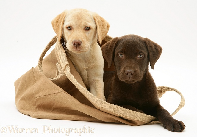 Chocolate and Yellow Retriever pups in a cloth bag, white background