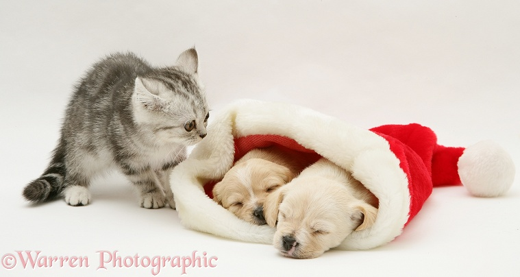 Silver tabby kitten with Westie x Cavalier pups in a Father Christmas hat, white background