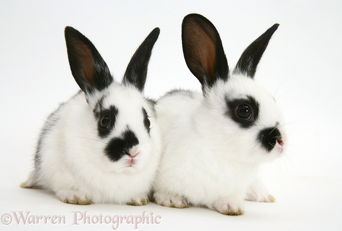 English Spotted rabbit babies, white background