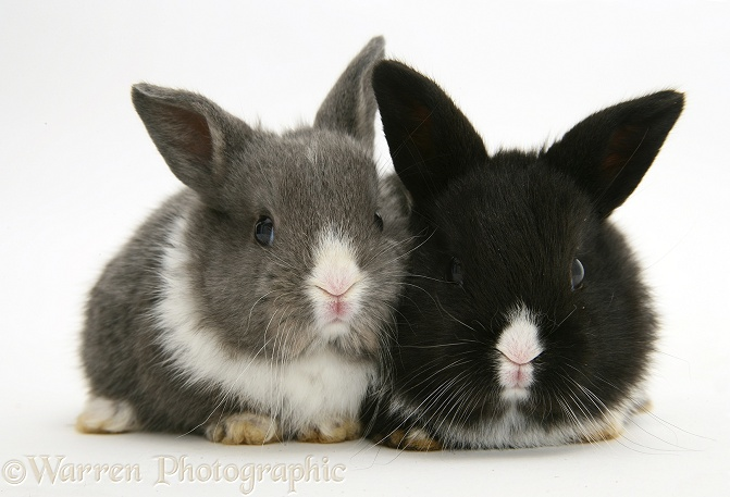 Baby Dutch-cross rabbits, white background