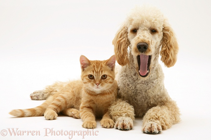 Apricot Poodle, Murphy, with ginger cat, white background