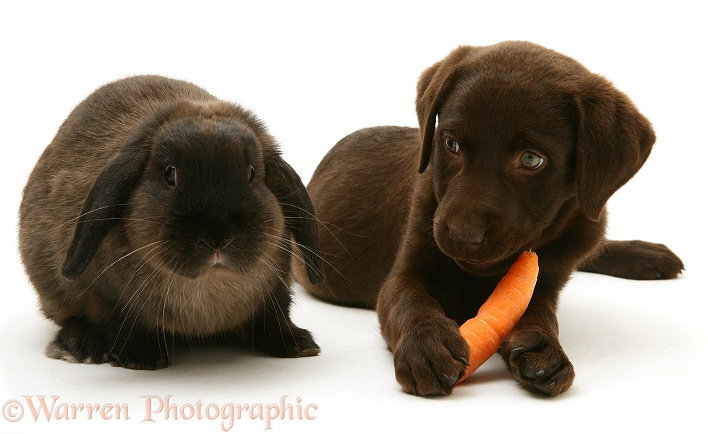 Chocolate Labrador Retriever pup with chocolate Lop rabbit. The Retriever has stolen the rabbit's carrot, white background