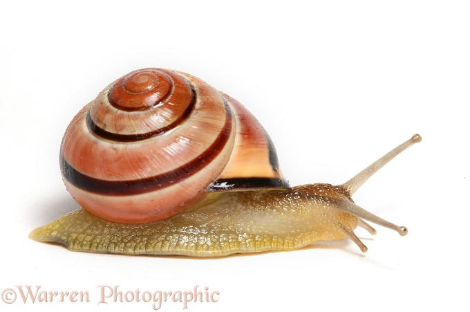 Brown-lipped Banded Snail (Cepaea nemoralis), white background