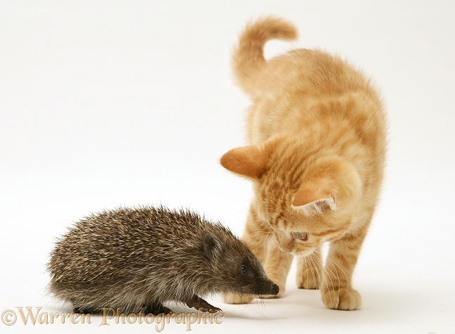 Ginger kitten meeting a young hedgehog, white background