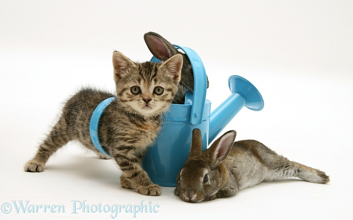 Tabby kitten with rabbits in a toy watering can, white background