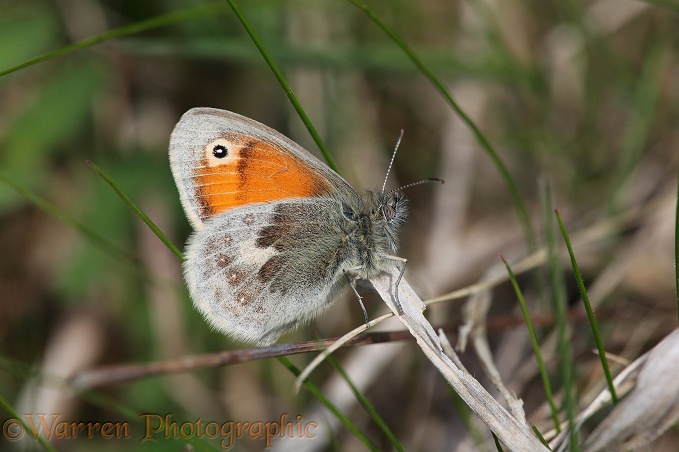 Small Heath Butterfly (Coenonympha pamphilus).  Europe, including Britain