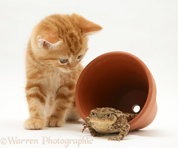 Ginger kitten inspecting a toad in a flower pot, white background