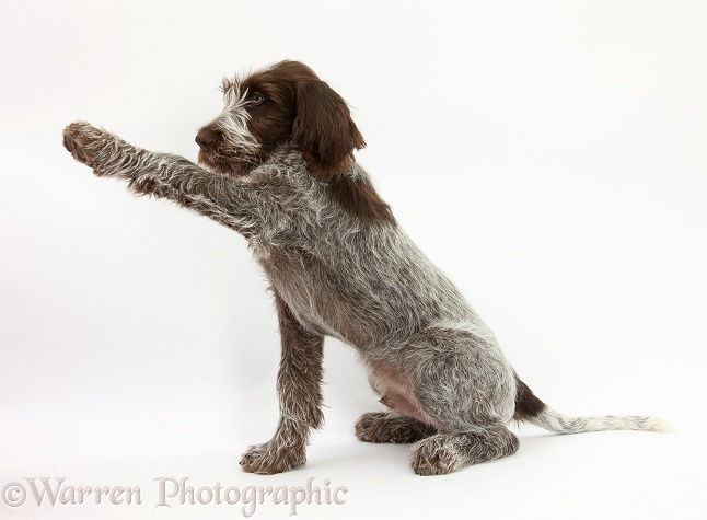 Brown Roan Italian Spinone pup, Riley, 13 weeks old, holding a paw out, white background