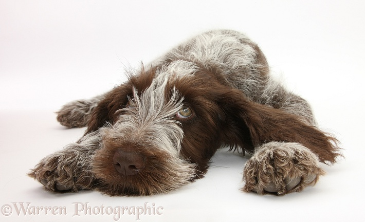 Brown Roan Italian Spinone pup, Riley, 13 weeks old, lying with chin on the ground, white background