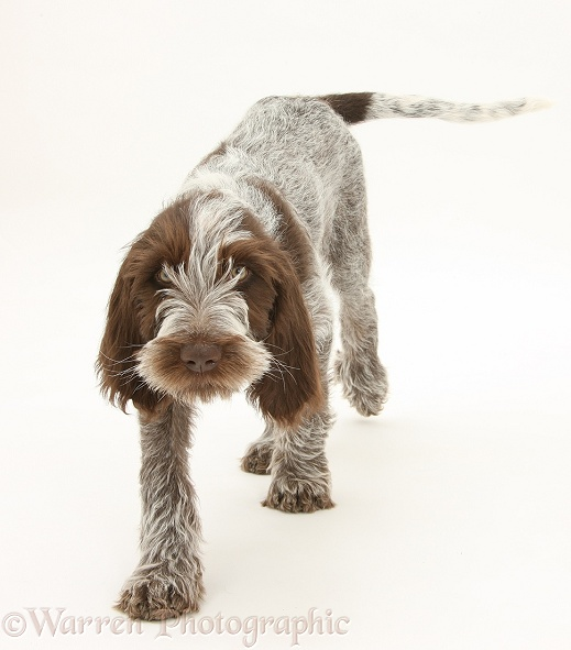 Brown Roan Italian Spinone pup, Riley, 13 weeks old, walking forward, white background