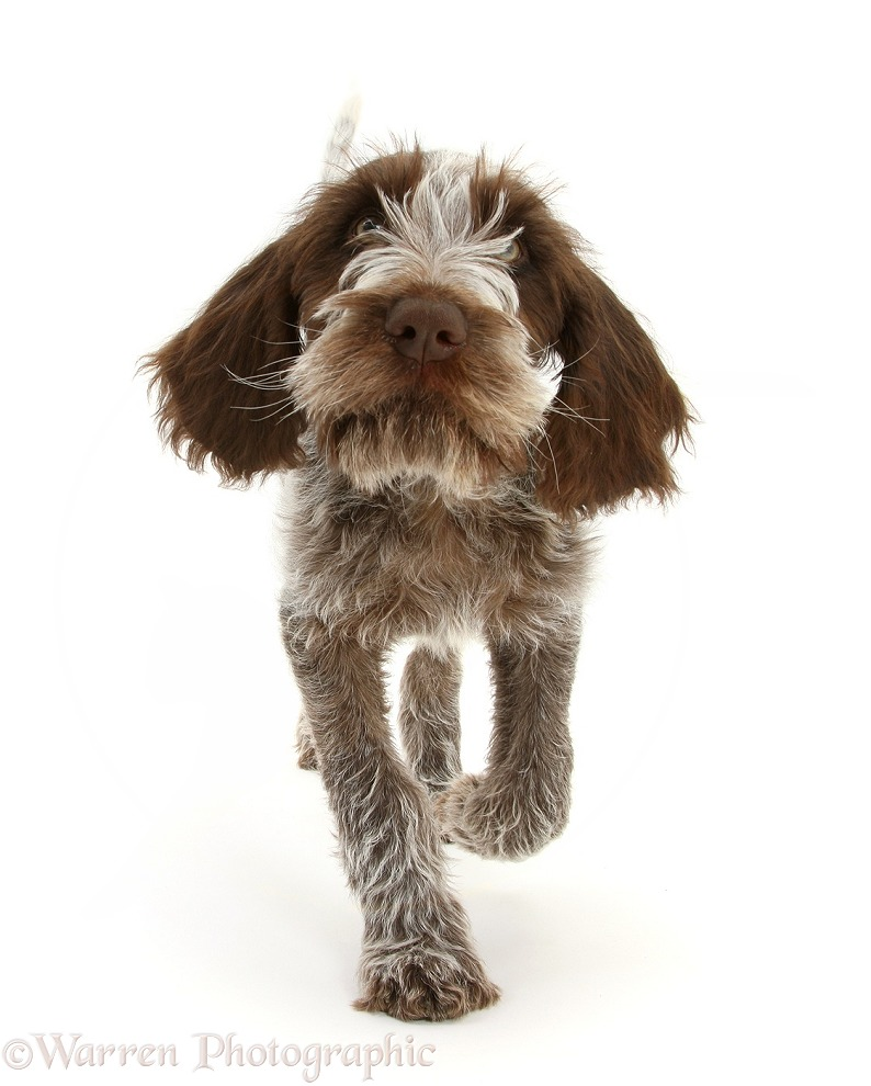 Brown Roan Italian Spinone pup, Riley, 13 weeks old, trotting forward, white background