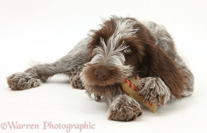 Brown Roan Italian Spinone pup, Riley, 13 weeks old, chewing a rawhide shoe, white background