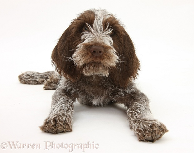 Brown Roan Italian Spinone pup, Riley, 13 weeks old, lying with head up, white background
