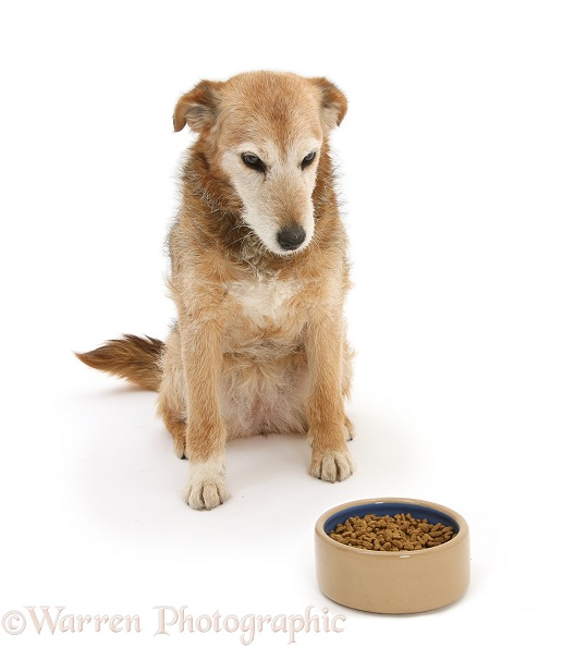 Lakeland Terrier x Border Collie, Bess, 14 years old, looking forlornly at her food, white background