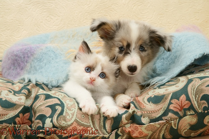 Birman-cross kitten and Shetland Sheepdog pup under a scarf