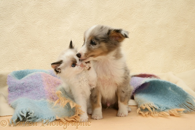Birman-cross kitten and Shetland Sheepdog pup