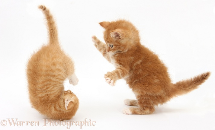 Ginger kittens, Butch and Tom, 7 weeks old, play-fighting, white background