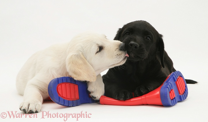 Goldador Retriever pups (Golden Retriever x Labrador Retriever) pups lying on a child's wellington boots, white background