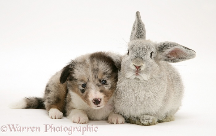 Blue merle Shetland Sheepdog pup with young silver Lop rabbit, white background