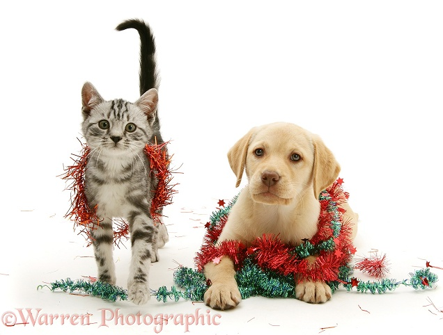 Yellow Labrador Retriever pup with silver tabby cat and Christmas tinsel, white background