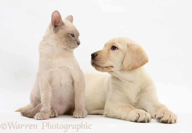 Yellow Labrador Retriever bitch pup, 9 weeks old, and young Burmese cat, white background