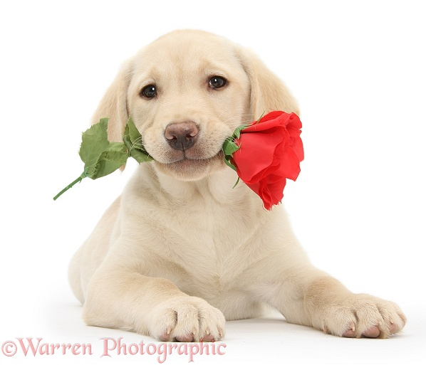 Yellow Labrador Retriever bitch pup, 10 weeks old, holding a red rose, white background