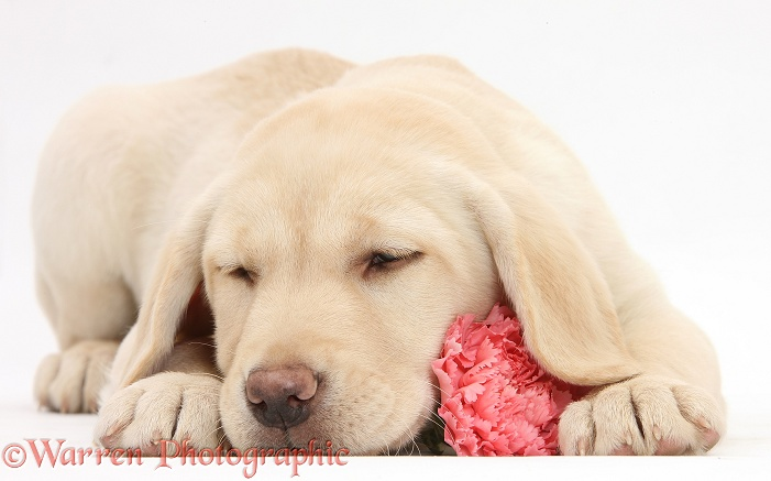Yellow Labrador Retriever bitch pup, 10 weeks old, sleeping with a pink carnation, white background