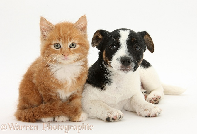 Jack Russell Terrier pup, Rubie, 9 weeks old, with a ginger kitten, Butch, 7 weeks old, white background