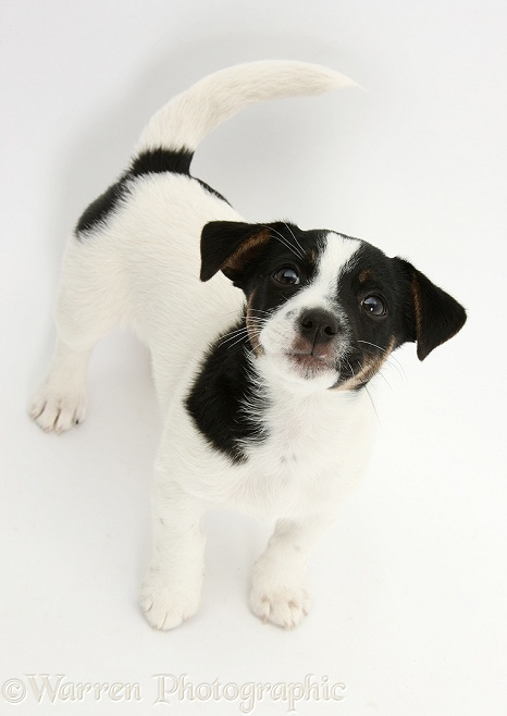Jack Russell Terrier pup, Rubie, 9 weeks old, looking up, white background