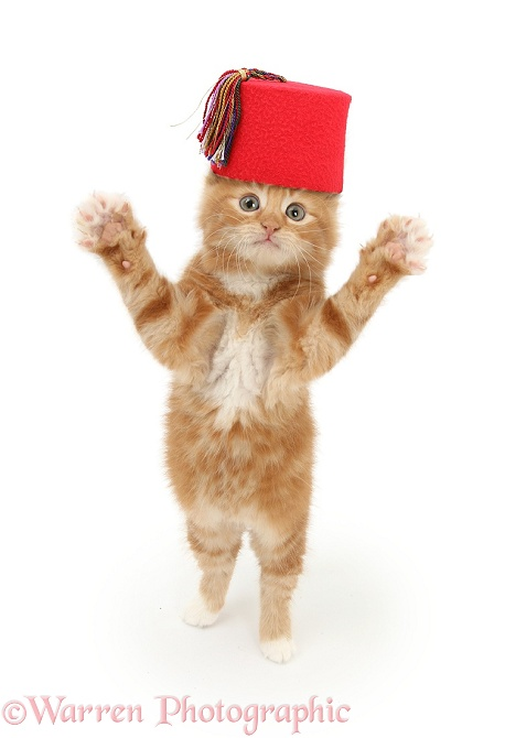 "Ginger kitten, Butch, 7 weeks old, wearing a red Fez and reaching out... ""Just like that"", white background"