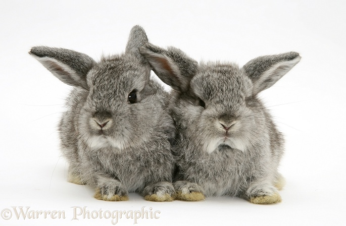 Silver baby rabbits, white background