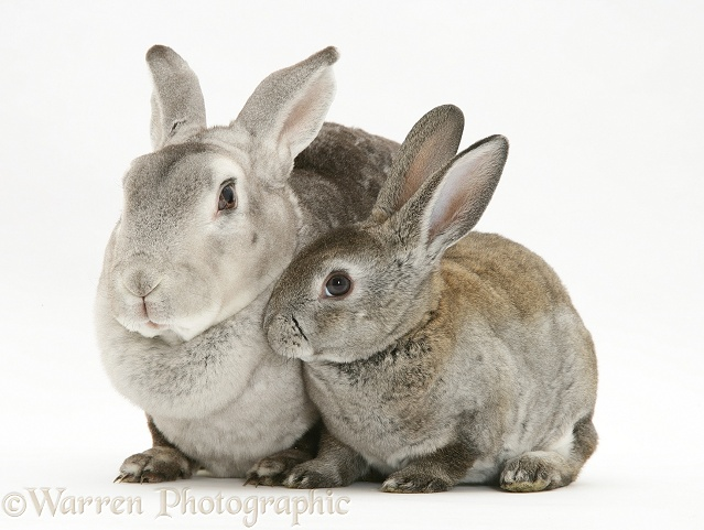 Rex rabbit Mother and young rabbit, white background