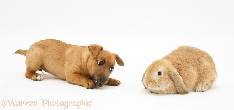 Jack Russell Terrier x Chihuahua puppy with Sandy Lop rabbit, white background