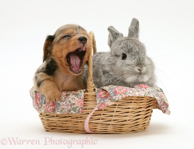Sleepy silver dapple miniature Dachshund pup in a basket with a baby silver Lop rabbit, white background