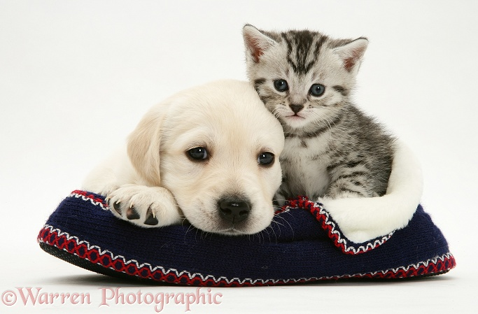Yellow Goldador pup and tabby kitten in a knitted slipper, white background