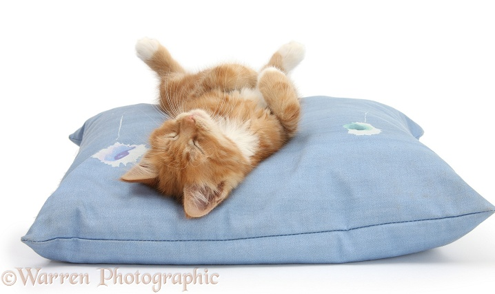 Ginger kitten, Butch, 8 weeks old, sleeping upside down on a cushion, white background