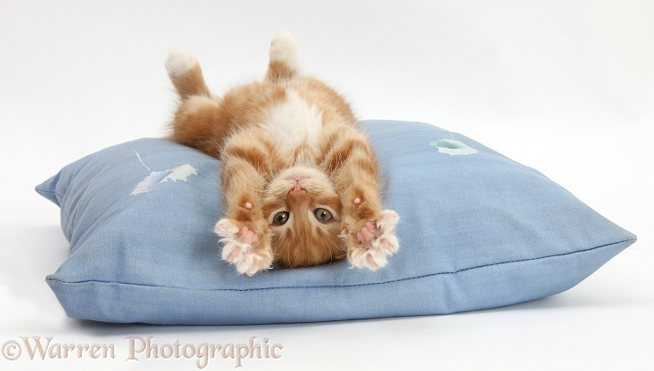 Ginger kitten, Butch, 8 weeks old, stretching out upside down on a cushion, white background