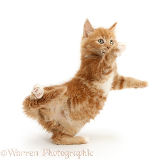 Ginger kitten, Butch, 8 weeks old, dancing, white background