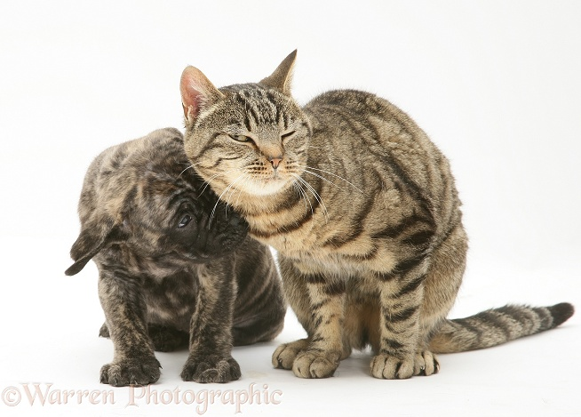 Brindle English Mastiff pup with tabby cat, white background