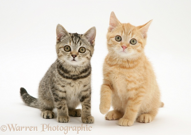 Cream and brown spotted kittens, white background