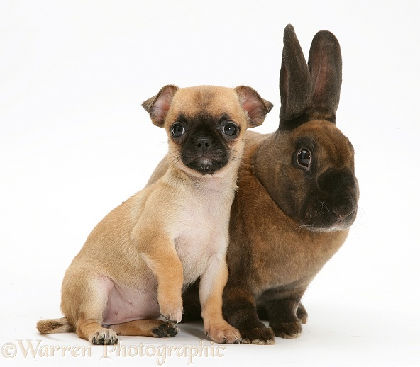 Pets: Chihuahua pup and sooty-fawn dwarf Rex rabbit photo